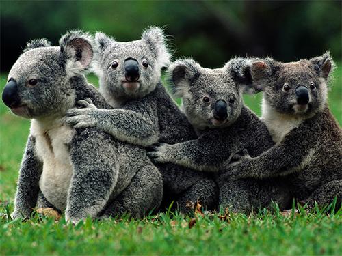 Global Koala Army