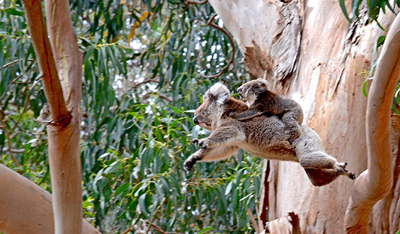 flying_koalas_02